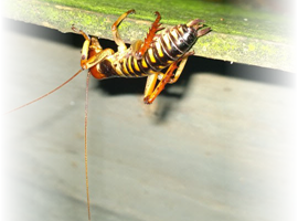 An image of a weta (the common name for a group of about 70 insect species in the families Anostostomatidae and Rhaphidophoridae, endemic to New Zealand) with the left and right edges fading to total transparency.